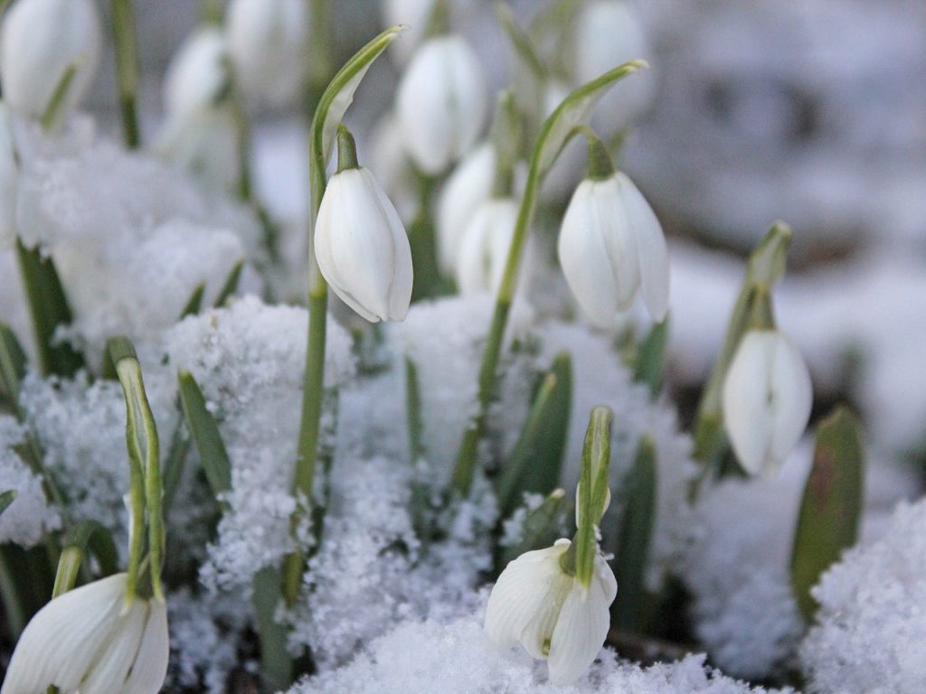 snowdrops in the snow